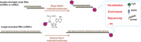 Targeted covalent labeling  of small RNAs and ssRNAs