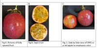 ORIS ('280-4') PASSION-FRUIT CULTIVAR – PURPLE WITH DARK PURPLE SPOTS AND 1.5-2X BIGGER