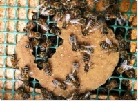 Superfood for Honeybees