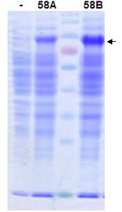 Protein Expression in Bacillus Subtilis